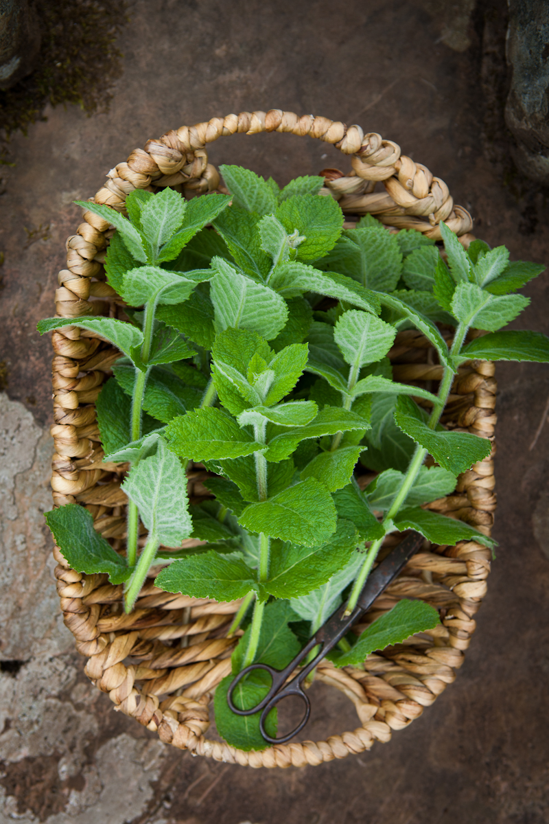 Forage for wild mint in Greenwell